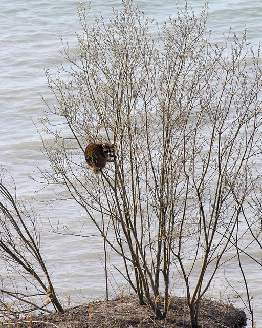 """Raccoon Has a Bad Day.   A story told in photos by Bruce Bolin. (Click the photo on the left in the photostream to see the next """"page"""".): Bruce Bolin, Stories Told"""