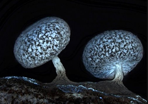 Fluorescent fungus -- Slime mould is no ordinary mould - it's a fungus that also has animal genes. Although they possess no nervous system, slime moulds have been shown to navigate mazes and communicate with one another.