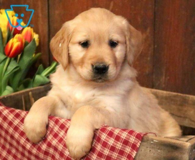 Dodger Golden Retriever Puppy For Sale Keystone Puppies Cuccioli Di Cani Cuccioli Cani