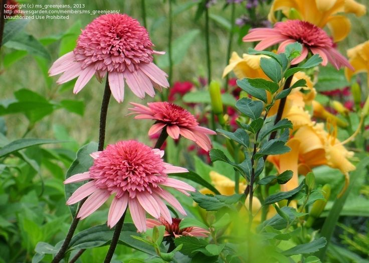 Full size picture of Coneflower 'Raspberry Truffle' (Echinacea purpurea)