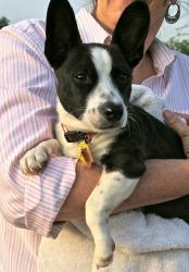 HOLY CRAP!!! I WANT HUGO!!! Hugo is an adoptable Corgi Dog in Austin, TX. Hugo is a very sweet and happy little guy. His mix in anyone's guess, maybe some Corgi or maybe French Bulldog or maybe even Boston Terrier mix. He was fi...