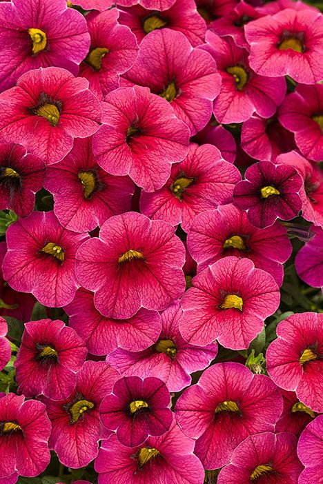 """Superbells Cherry Red Improved has an improved flower color that is truly red, and will also flower earlier and for a longer period of time. It's cascading habit is great for hanging baskets or window boxes, look for a height of 6-10"""" with a spread of 20"""". Best in full sun."""