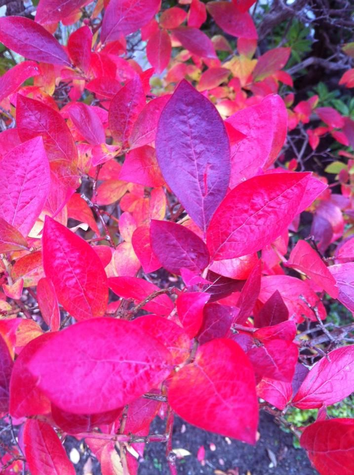 Autumn leaves from our garden