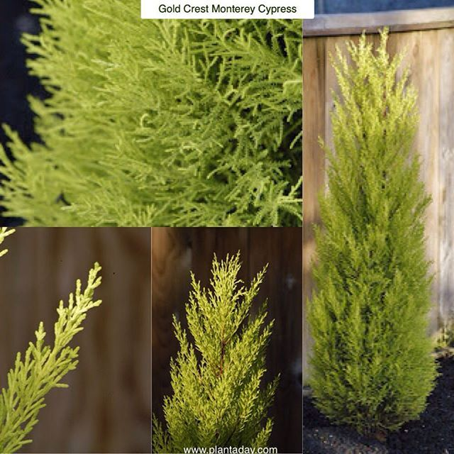 25 Best Ideas About Cupressus Sempervirens On Pinterest