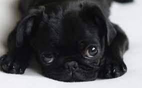 Image result for pictures of baby pugs