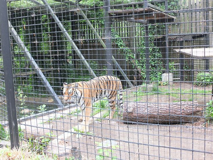 Zhanna is an Amur Tiger at the Brandywine Zoo