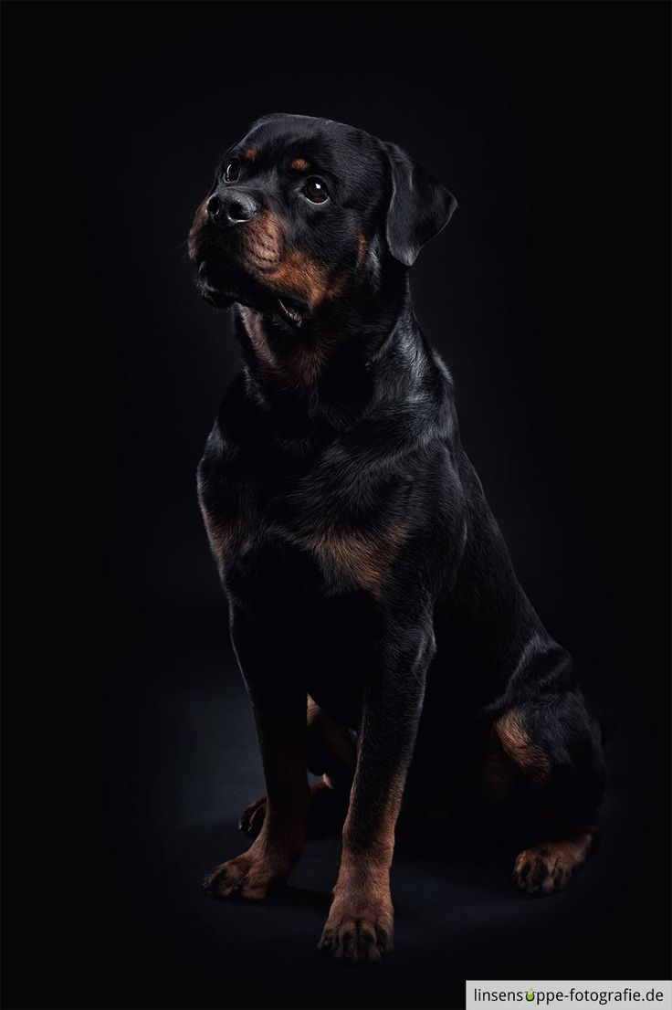 rottweiler on black background - This is Balu, a young ...