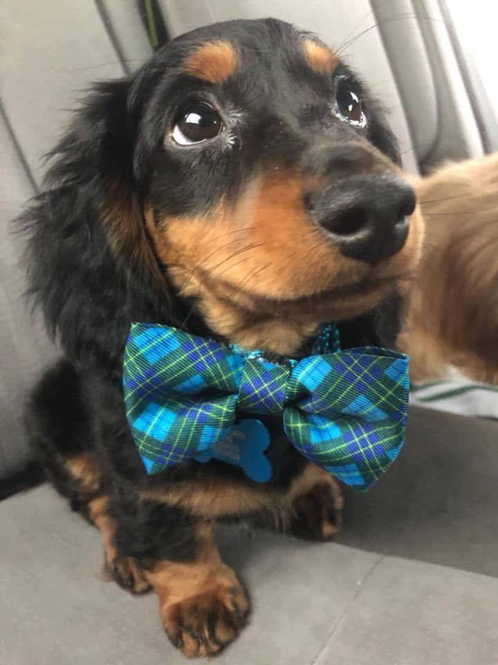 Dachshund Dog Fashion Dachshund Fashion Pet Fashion Sausage Dog