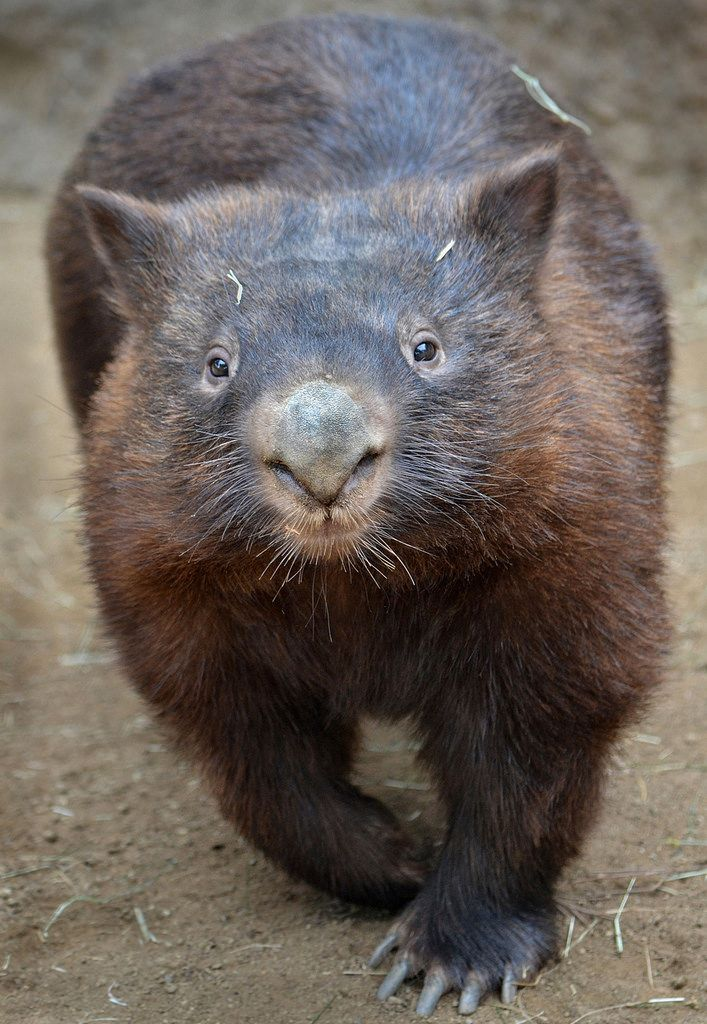 Wombat - the closest living relative of the koala. He's not a bear either, they are both marsupial mammals and not even remotely related to bears, which are placental mammals. The third type of mammals are the monotremes.