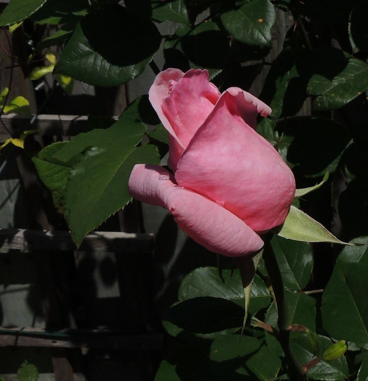 Delicate Rosebud