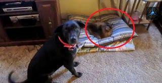gatos le ganan la cama a los perros