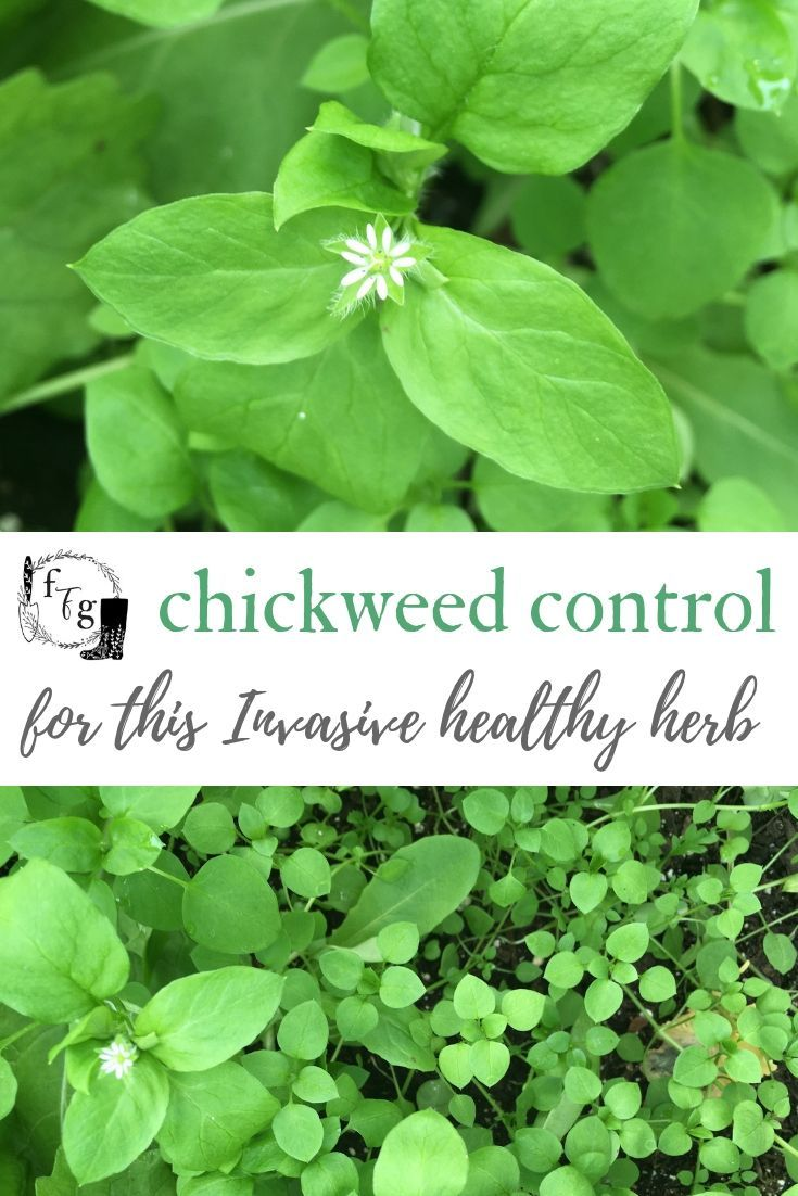 Chickweed Control In The Home Garden Family Food Garden Food Garden Chickweed Planting Herbs