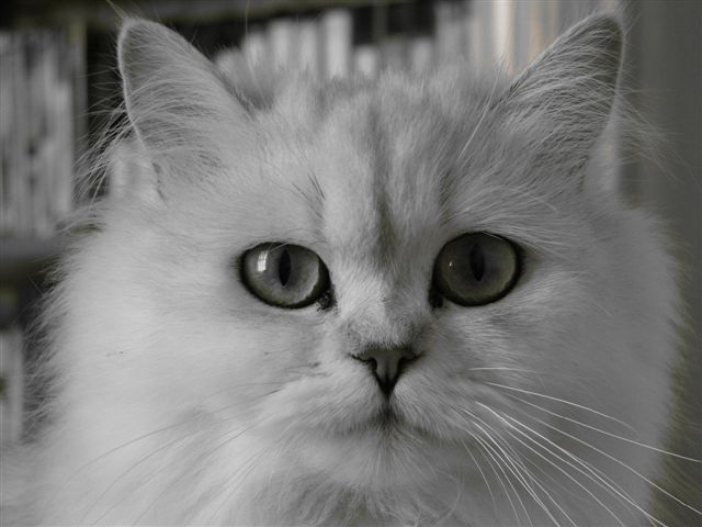 Chinchilla persian kittens for sale in texas