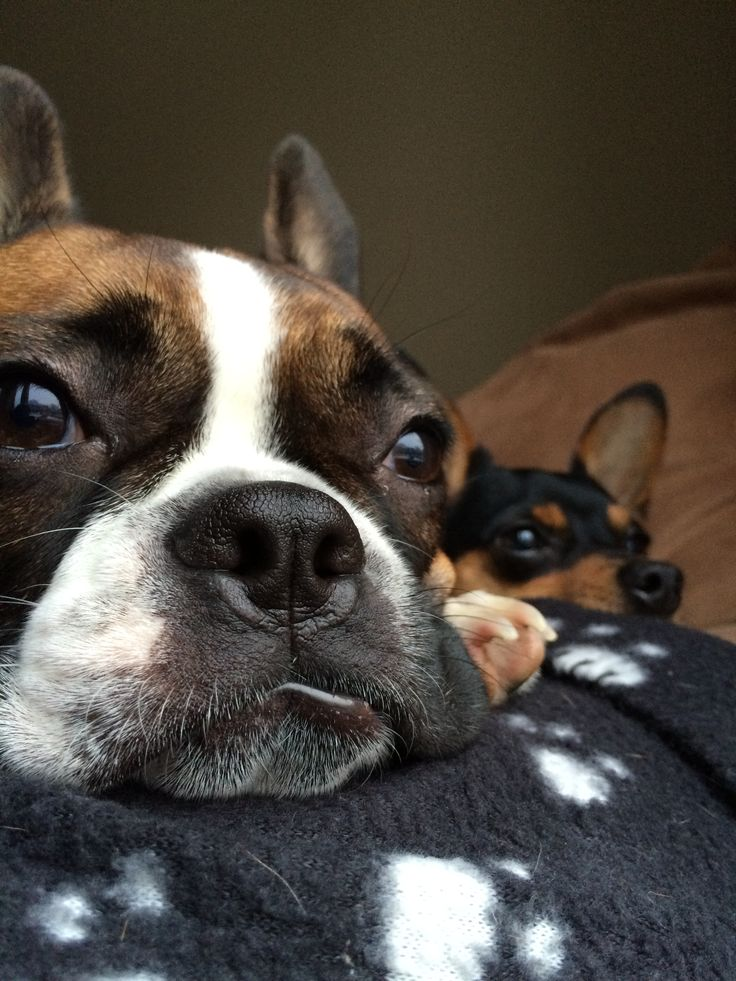 I love my dogs. Ruby is a French bulldog/Boston Terrier