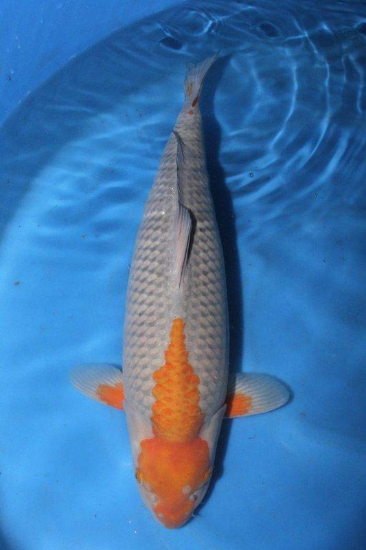 1211 Best Freshwater Images On Pinterest Fish