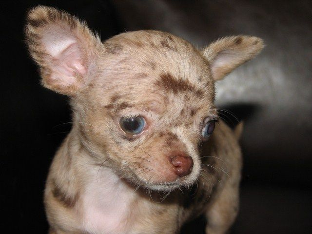 Smiley x Will, chocolate merle chihuahua puppy