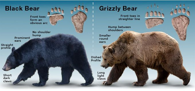 """The black bears have """"droopy backsides that makes their back legs appear much shorter than their front legs, while the grizzly bears have straight backs."""