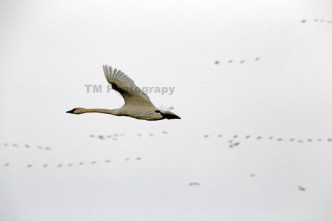 Snow Goose  Flying Goose  Migration  Migrating by turquoisemoon, $35.00