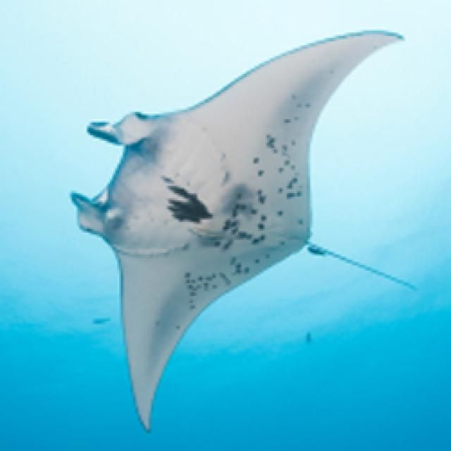 A Scuba Diver's Guide to Identifying Rays. Really useful! I definitely want to dive with Mantas someday!