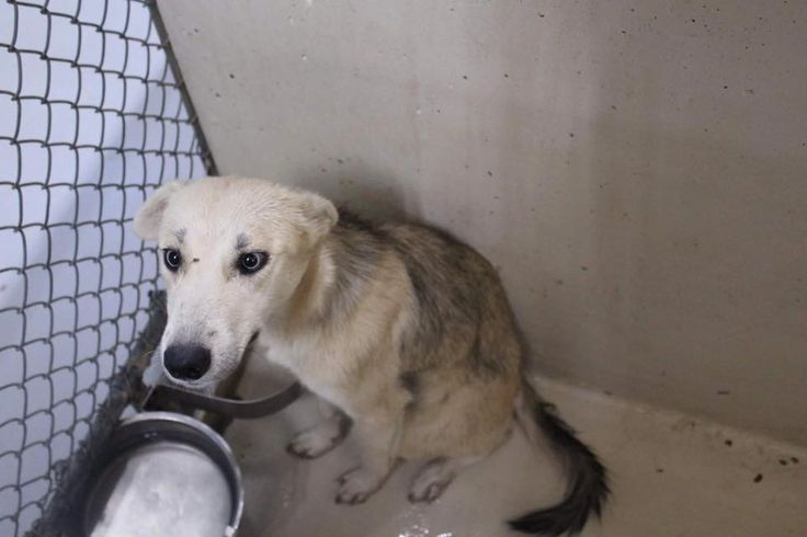 11/29/16-ODESSA, TX - SUPER URGENT -Tammy is a female Husky less than a year old Kennel A32 $51 to adopt ADOPT/RESCUE/FOSTER Located at Odessa, Texas Animal Control.
