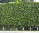 Ficus Nitida, 15 Gallon, Ficus Hedge, Ficus Nitida Hedge, Ficus Trees, Ficus Plants, Ficus Tree, Indian Laurel Hedge, Ficus Retusa Nitida, Ficus Nitida Column, Ficus For Sale, Los Angeles, Riverside, Orange County, San Diego, Ventura, California
