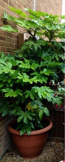 Fatsia Japonica - Great plant for a jungle look in a shady corner. Outdoors- zones 8-10. Indoors - prefers part-full shade, low moisture, temperatures 60`-70`