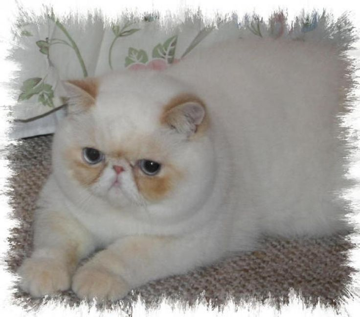 Image detail for -Exotic Shorthair Cat Breeders - Cats - Kittens