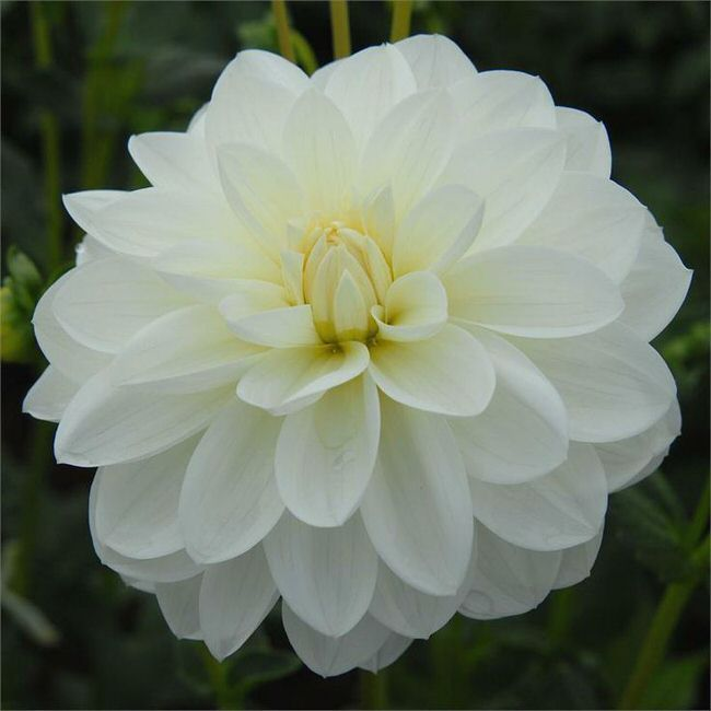 """Bridezilla – Dahlias   this white variety with a yellow """"eye"""" would be gorgeous in any garden and would make a wedding bouquet worthy cut flower. Tall, at 5 feet plus, the blooms are 6 inches across."""