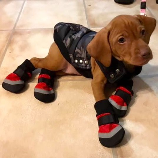 Adorable eight-week-old Hungarian Vizsla puppy Rosie does not enjoy the Northern Ontario weather. So her owners got her some booties and a camo vest t…