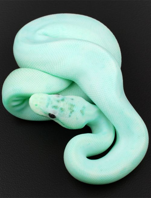 "this snake is the EXACT same color as ""Daiquiri Ice"" ice cream from Baskin Robbins-creepy"
