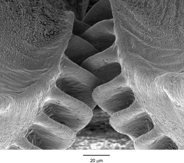 Detalle del engranaje de la ninfa de Issus coleoptratus