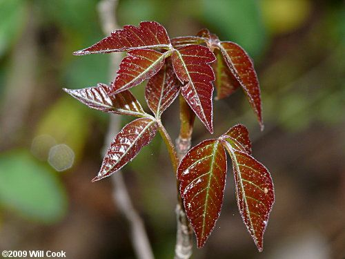 Eastern Poison-Ivy (Toxicodendron radicans)
