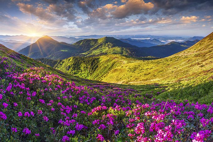 Цветущие рододендроны в горах, Россия