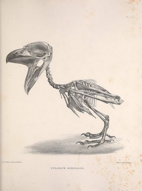 Podargus Humeralis by BioDivLibrary on Flickr.  Osteologia avium, or, A sketch of the osteology of birds /.[Wellington] :Published by R. Hobson, Wellington, Salop,1858-1875..biodiversitylibrary.org/page/41398923