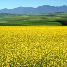 Image result for Canola Fields in the Overberg