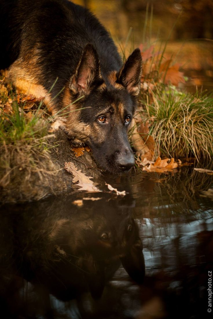 Reflection of a German Shepherd Dog.