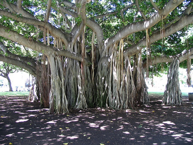 This is a Banyan tree in Hilo, Hawaii.  The hanging roots go into the ground!