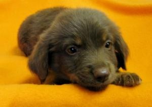 Larry is an adoptable Feist Dog in Summit, NJ. My name is Larry. I am an 8-week old beautiful puppy. I have five sisters! My mom was a small terrier, and they think my dad was a Shep mix, go figure.  ...