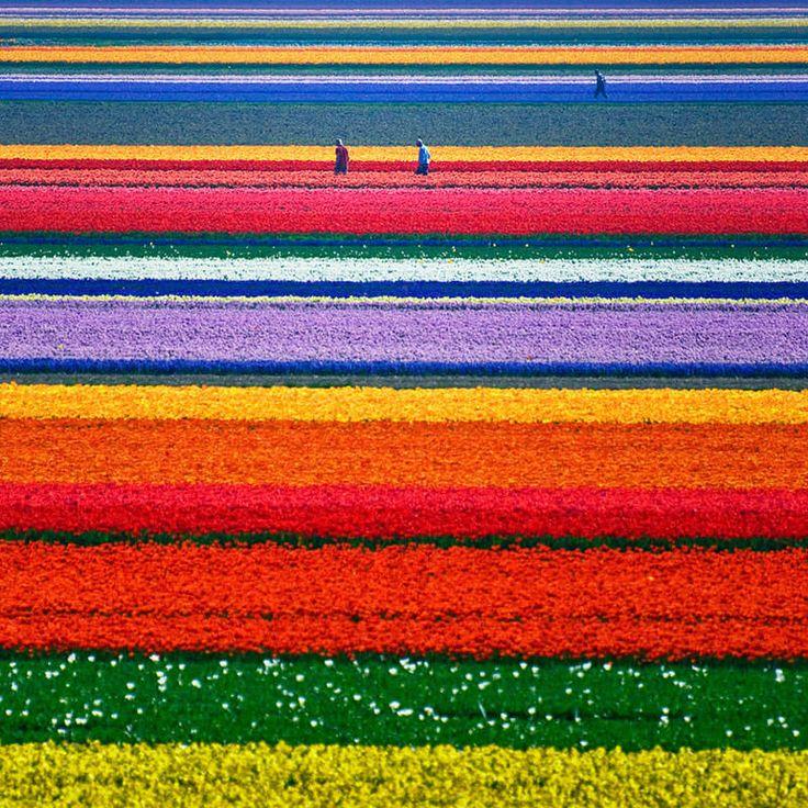 Pays-Bas pour ses champs de tulipes