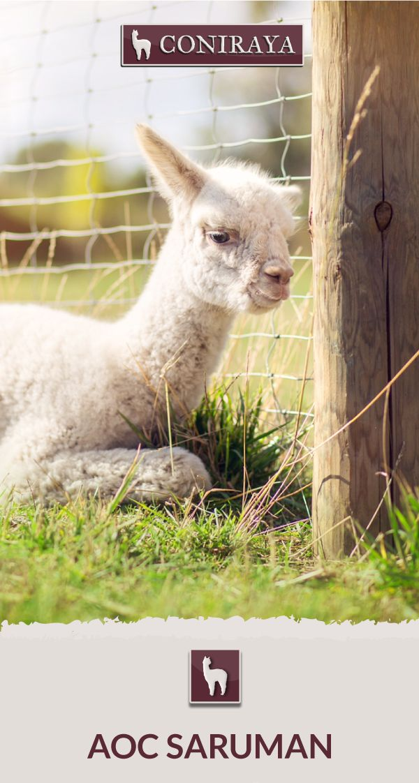Meet Coniraya - AoC Saruman. This Alpaca was born in 2015 and its fiber is in color: White. Check out more details on our site!