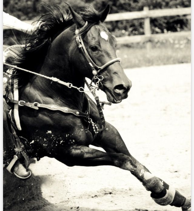 Barrels, horse, hest, action, wild, running, fence, beautiful, animal, gorgeous, awsome, photo b/w.
