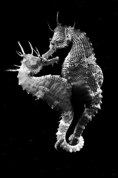 Erectus the lined seahorse a mated pair many of the kinds of seahorse mate for life