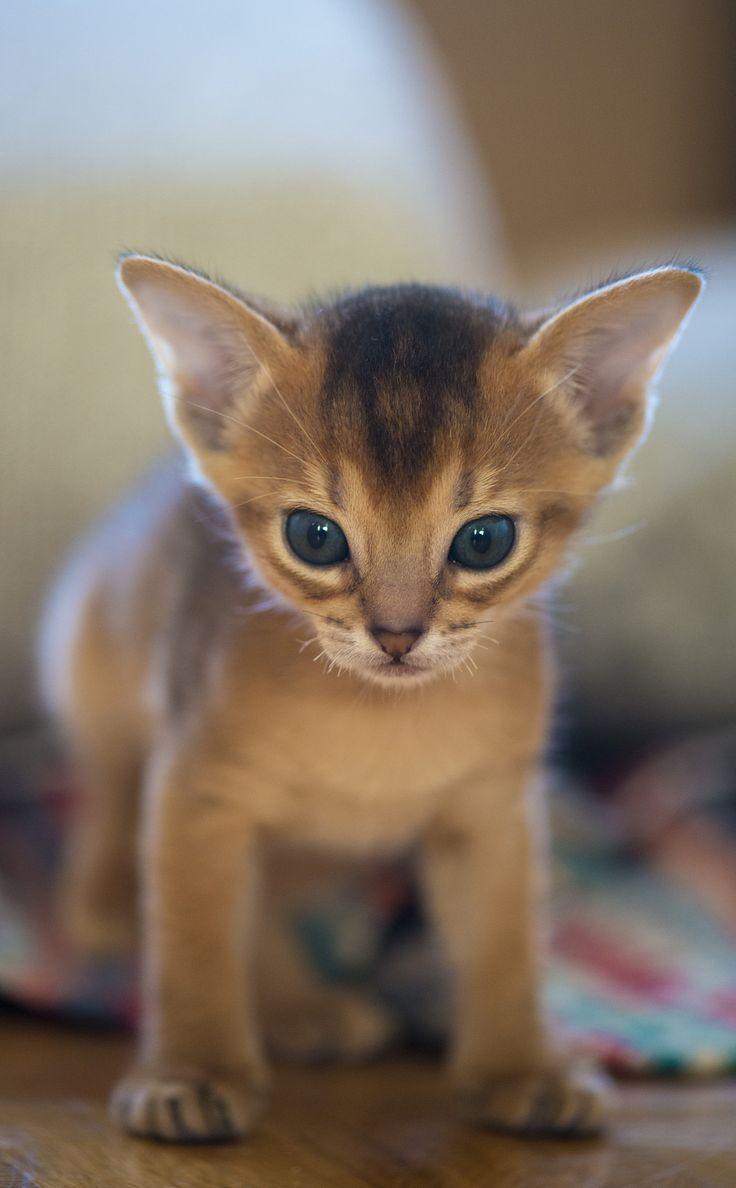 Best 25 Abyssinian kittens ideas on Pinterest