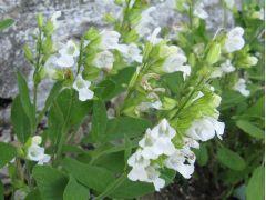 Salvia officinalis f. albiflora - šalvěj lékařská bílá Zahradnictví Krulichovi - zahradnictví, květinářství, trvalky, skalničky, bylinky a koření
