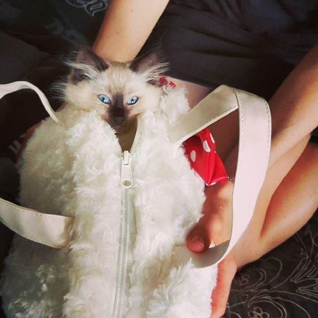 My very own #hellokitty ;) #cute #cat #kitten #ragdoll #adorable #petshop #cuteness #bag #kitty #catsofinstagram #love #fluffy #joy #family #blueeyes #luna