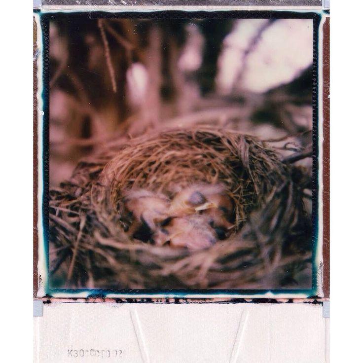 Spring Chicks  SX-70 and expired Poisoned Paradise film. @impossible_hq  #ishootfilm #instantfilm #istillshootfilm #impossibleproject #film #flowers #filmfeed #filmisnotdead #filmphotography #keepfilmalive #staybrokeshootfilm #buyfilmnotmegapixels #art #nature #naturephotography #snapitseeit #polaroids #photographer #polaroidcamera #birds #vintagecamera #scenery #nofilter #hylasmag #impossiblehq #heyfsc by 0abigailnightingale0