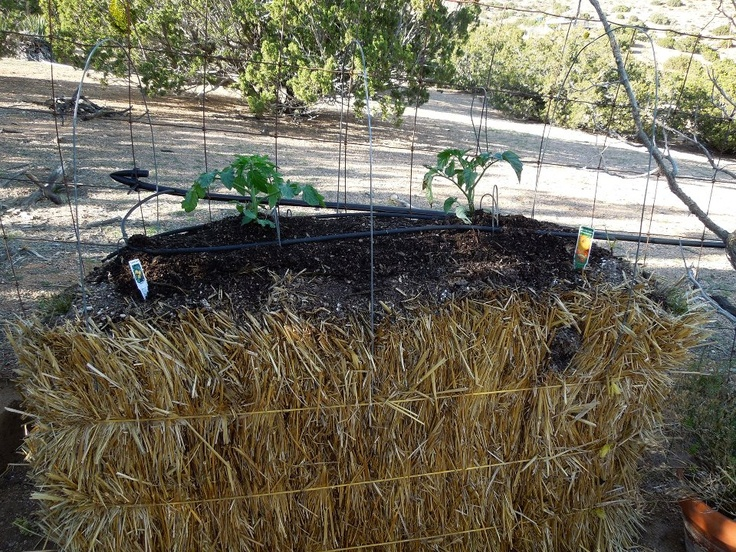 Tomatoes planted | Awesome Outdoors | Pinterest | Tomatoes