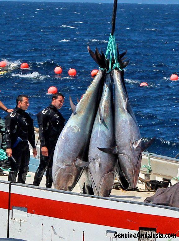 """Atunes en Barbate, imagen de """"La levantá"""" o pesca de atún rojo de almadraba. Cádiz."""