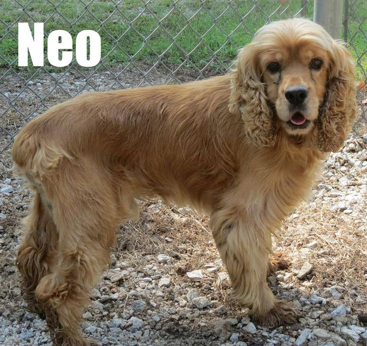 Available for rescue only neo is a male cocker spaniel