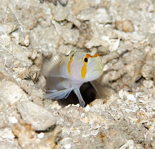 49 best images about great gobys on pinterest pistols for Saltwater goby fish